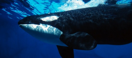 wallpapers-animales-ballena