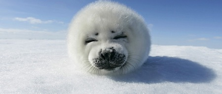 wallpapers-animales-foca