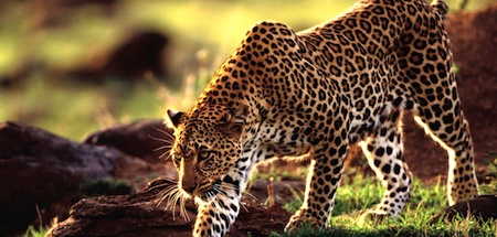 wallpapers-animales-guepardo