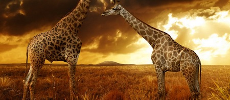wallpapers-animales-jirafas-sabana