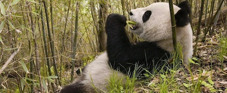 wallpapers-animales-oso-panda