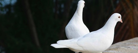 wallpapers-animales-palomas-blancas