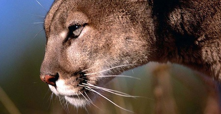 wallpapers-animales-puma