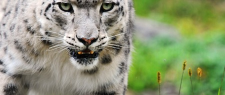wallpapers-animales-tigre-blanco