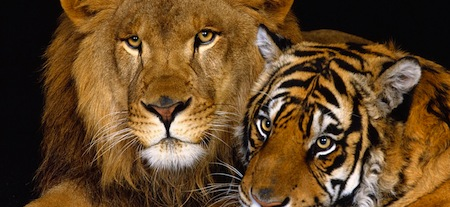 wallpapers-animales-tigre-leon