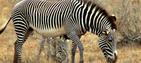 wallpapers-animales-zebra